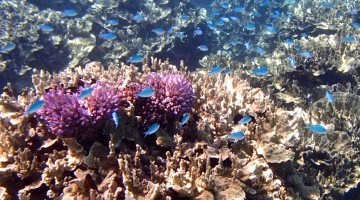 Underwater coral and fish in the Bay of Islands, Fiji (photo by Dot Westridge)