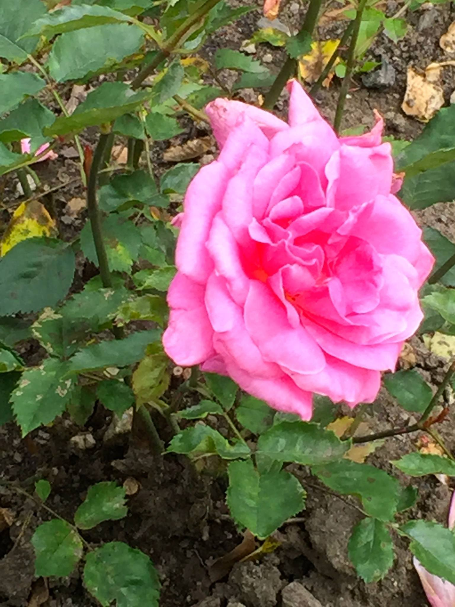 Rose is a vintner s version of the canary in the coal mine it s